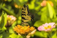 Шикарные Yellowtail на желтом цветке Стоковое фото RF