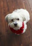 Шикарный белый мальтийсный шелковистый терьер с красным воротником рождества Стоковые Изображения