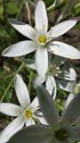 Шикарный белый цветок Стоковая Фотография RF