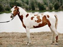 Шикарный жеребец пегой лошади со славным положением уздечки стоковое изображение