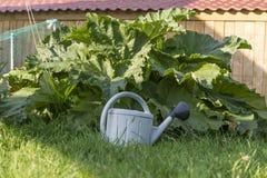 Шикарный зеленый ревень с сочной листвой в огороде Стоковые Изображения