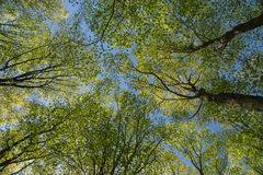 Шикарный изумительный взгляд деревьев зеленого цвета весны на голубом небе Стоковая Фотография