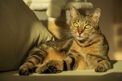 Шикарный кот Бенгалии племенника Стоковое Изображение