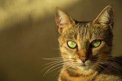 Шикарный кот Бенгалии племенника Стоковая Фотография RF