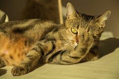 Шикарный кот Бенгалии племенника стоковая фотография