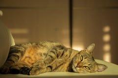 Шикарный кот Бенгалии племенника стоковые изображения rf