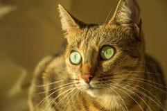 Шикарный кот Бенгалии племенника Стоковые Фото