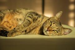 Шикарный кот Бенгалии племенника Стоковое Изображение RF