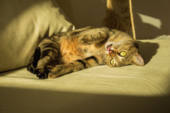 Шикарный кот Бенгалии племенника Стоковые Фотографии RF