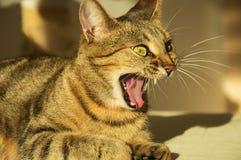 Шикарный кот Бенгалии племенника стоковое фото rf