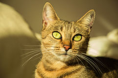 Шикарный кот Бенгалии племенника стоковые изображения