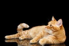 Шикарный кот имбиря на изолированной черной предпосылке Стоковые Фотографии RF