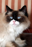 Шикарный кот ragdoll Стоковое Изображение RF