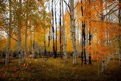 Шикарный лес деревьев березы и осины с ярким ярким цветом лист осени в течение дня стоковые изображения rf