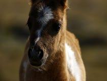 Шикарный маленький покрашенный skewbald пони холма Dartmoor Стоковые Изображения RF