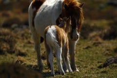 Шикарный маленький покрашенный skewbald пони холма Dartmoor Стоковая Фотография RF