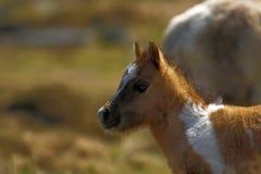 Шикарный маленький покрашенный skewbald пони холма Dartmoor Стоковые Фотографии RF