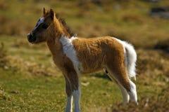 Шикарный маленький покрашенный skewbald пони холма Dartmoor Стоковое фото RF