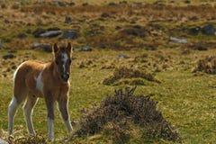 Шикарный маленький покрашенный skewbald пони холма Dartmoor Стоковое Изображение RF