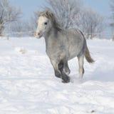 Шикарный пони горы welsh бежать в зиме Стоковое Фото