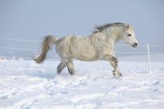 Шикарный пони горы welsh бежать в зиме Стоковое Изображение