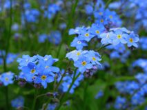 Шикарный свет - синь забывает что я не цветки цветет в саде парка ферзя Элизабет стоковое фото
