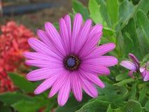 Шикарный фиолетовый цветок в Torrox, Испании Стоковые Фотографии RF