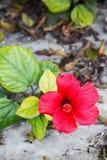 Шикарный цветок в марте красный гибискуса Розы-sinensis, также известный как китайский гибискус и Китая поднял стоковая фотография