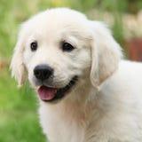 Шикарный щенок золотого retriever стоковые фотографии rf