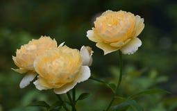 3 шикарных желтых розы весной Стоковое фото RF
