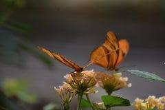 2 шикарных оранжевых бабочки рябчика залива в природе Стоковая Фотография RF