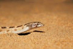 Шило возглавило змейку, diadema Lytorhynchus вытекая из песка, национального парка пустыни Стоковое фото RF