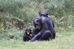 Шимпанзеы Стоковая Фотография