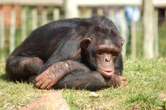 шимпанзе Африки Стоковое фото RF