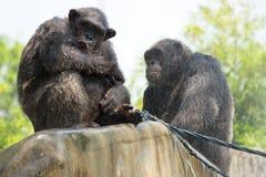 Шимпанзе, Бангкок, Таиланд Стоковая Фотография