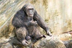 Шимпанзе, Бангкок, Таиланд Стоковое Фото