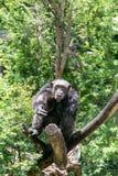 Шимпанзе в древесине Стоковое Изображение RF