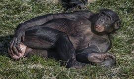 Шимпанзе карликового шимпанзе - лоток стоковое изображение rf
