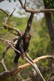 шимпанзе одичалый Стоковые Изображения RF