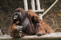 Шимпанзе сердитый на зоопарке Бандунге Индонезии стоковое изображение rf