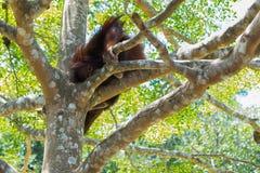 Шимпанзе сидя на ветви Стоковая Фотография