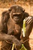 Шимпанзе с младенцем Стоковые Фото
