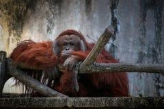 Шимпанзе с унылой стороной в зоопарке Стоковая Фотография RF