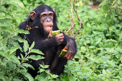 шимпанзе Уганда Стоковые Фотографии RF