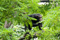 шимпанзе стоковое фото rf