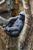 Шимпанзе Стоковые Изображения RF