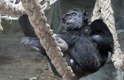 шимпанзе Стоковое Изображение RF