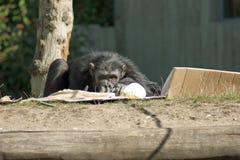 шимпанзе Стоковая Фотография RF