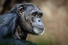 шимпанзе Стоковые Фото