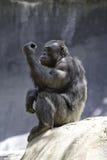 шимпанзе 8 Стоковые Изображения